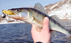 Walleye fishing techniques often require additional fishing gear. Read about walleye fishing techniques and what you'll need to use them at HowStuffWorks.