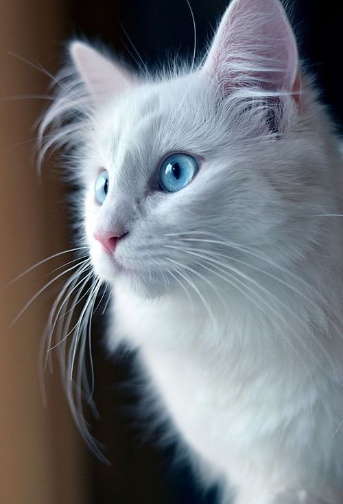 Stunning White Cat with Blue Eyes