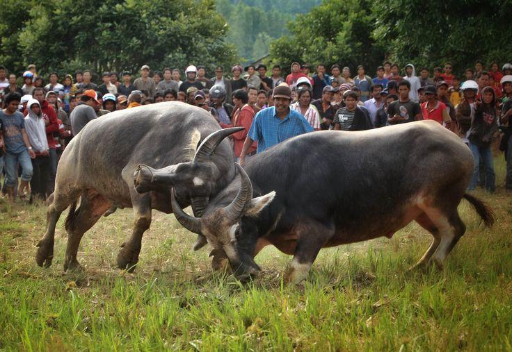 Adu Kerbau (Pasilaga Tedong) salah satu prosesi upacara kematian (Rambusolo)