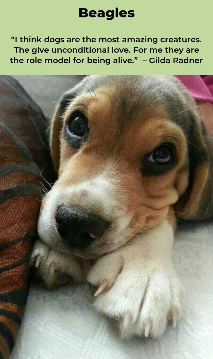Beagle Puppies Beagleoftheday Beagles Training Beaglesfacts