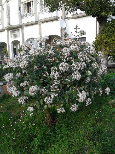 Il mio viburno in fiore