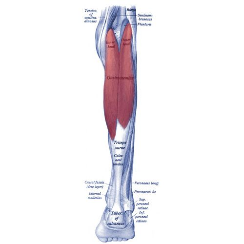 Gastrocnemius Muscle Anatomy Study: Origin, Insertion, Action and Innervation - The Wellness Digest