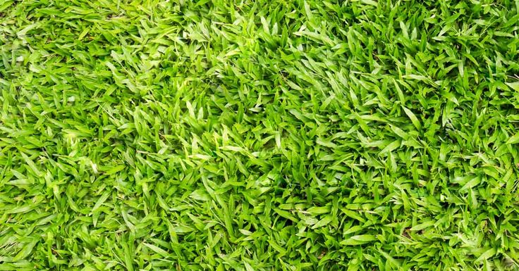 A favorite of lawn owners interested in minimal upkeep, Centipede grass requires far less attention and input than other grasses in its growing region.