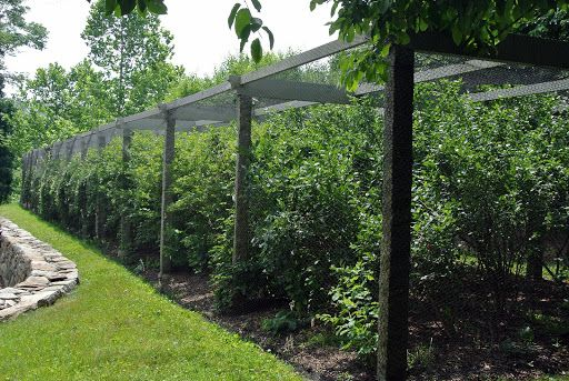 This Is My Long Blueberry Pergola Which Is Located Near