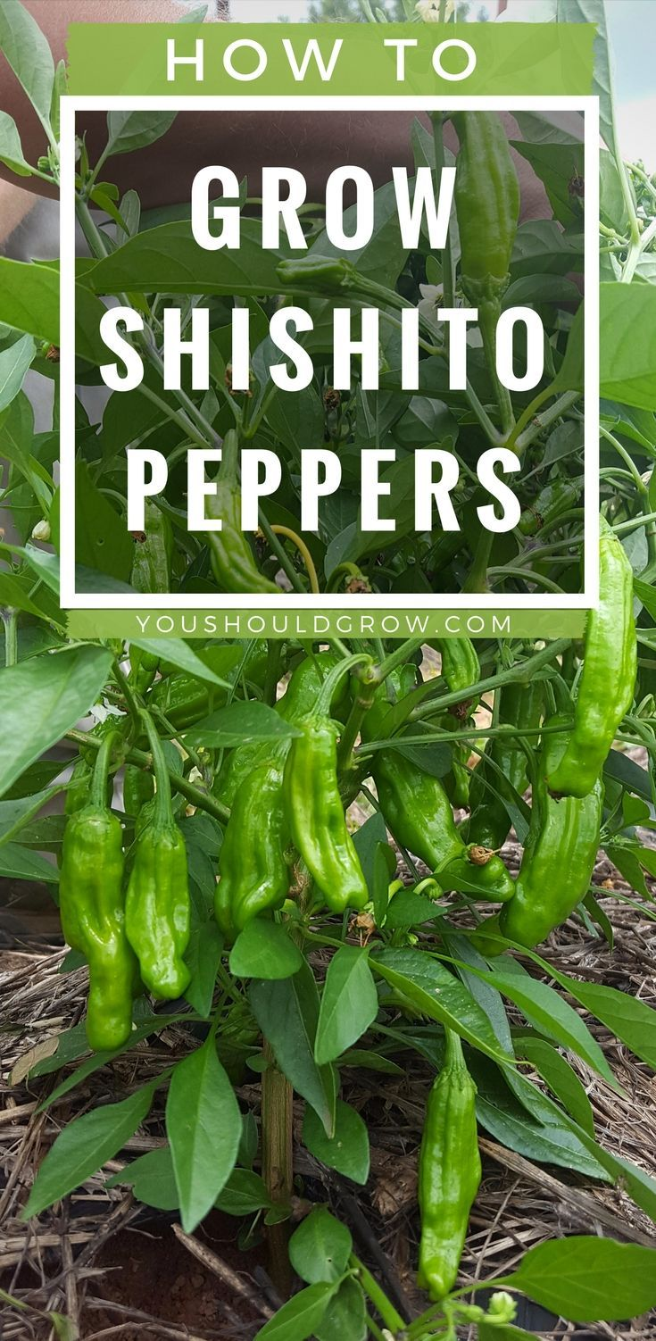 why everyone loves growing shishito peppers home grown goodness rh pinterest com