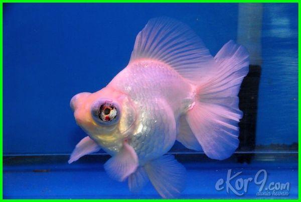 23 Jenis Ikan Mas Koki Yang Paling Bagus Termahal Di Pasaran Lengkap Beserta Gambar Dan Harganya Dunia Fauna Hewan Binatang Tumbuhan Ikan Binatang Ikan Mas