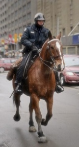 Royal was a cross breed who served as a mount police horse in Toronto until he injuried one of his legs on the job and had to be put down. Everyone love him!