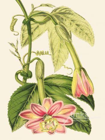 Reprodukce květiny 30, Mučenka Passiflora