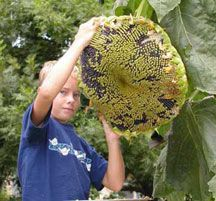 how to grow the biggest sunflowers