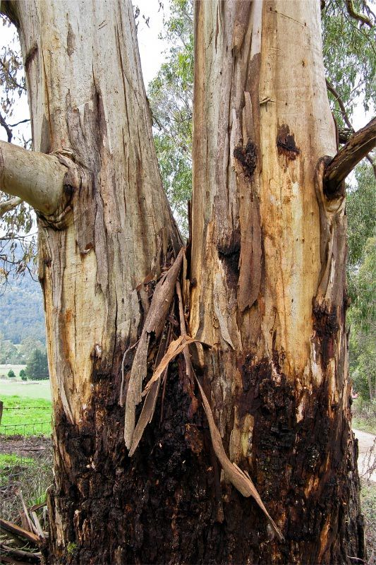 Tasmanian Blue Gum, first discovered at Recherche Bay in Far South #Tasmania. Photo by Carol Haberle, article for think-tasmania.com