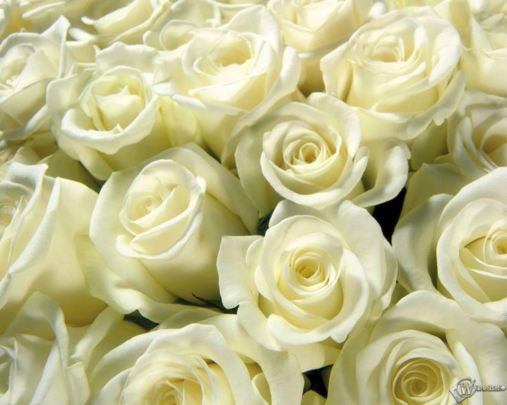 Белые розы 1280x1024