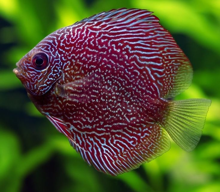 61 best images about fresh water fish on pinterest fresh for Discus fish types