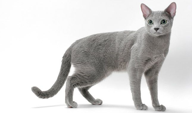 Everything you want to know about Russian Blue cats, including grooming, health problems, history, adoption, finding good breeders, and more.