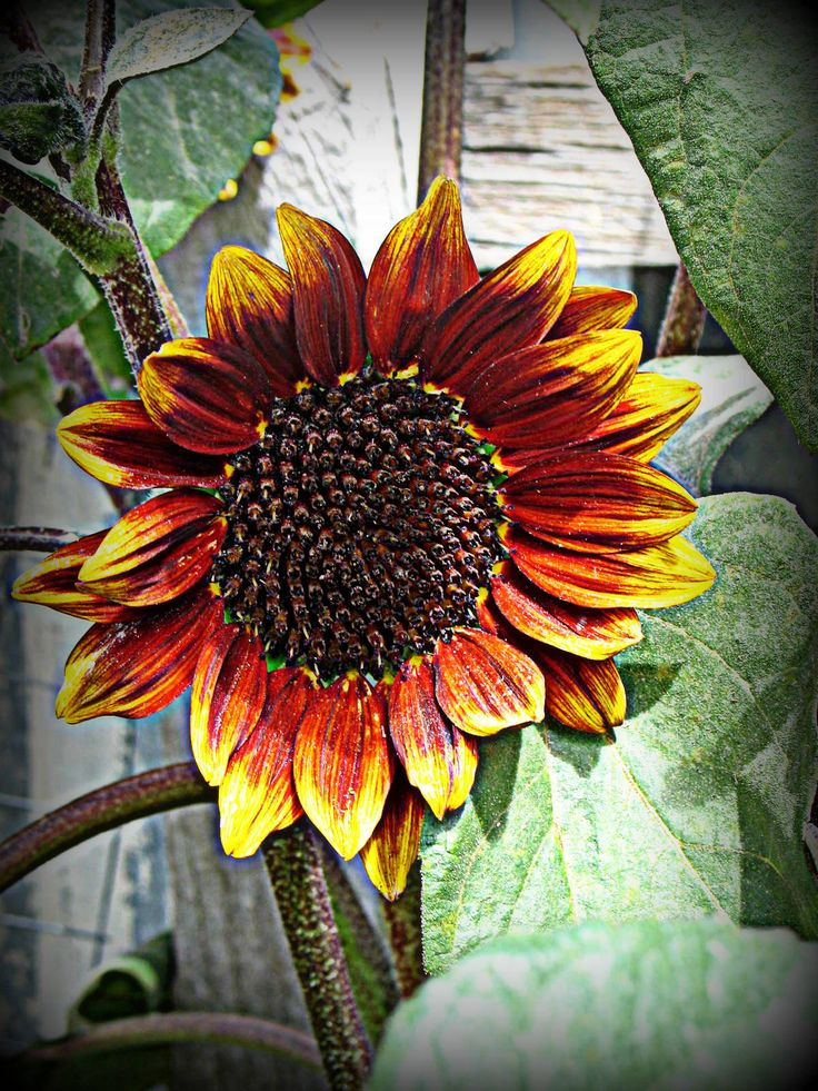 Prado Red Sunflower