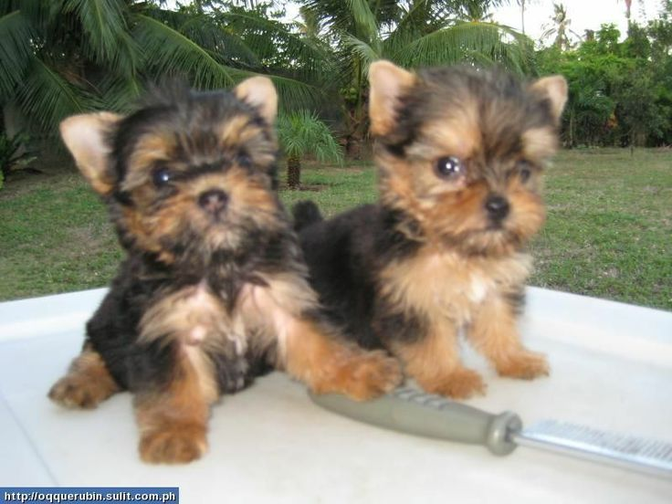 Yorkshire Terrier Puppies Female Black Tan Yorkie