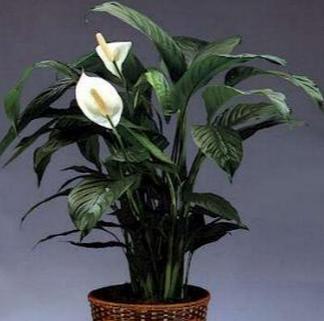 Spathiphyllum: Εντυπωσιακά φύλλα, με ανάγλυφη επιφάνεια, στην άκρη ενός λεπτού και μακριού μίσχου. φυτό αυτό πολύ αγαπητό τόσο στους λάτρεις των πράσινων φυτών όσο και σε αυτούς που προτιμούν τα ανθοφόρα φυτά. Ένα από τα 15 φυτά που προτείνει η NASA για το σπίτι μας!