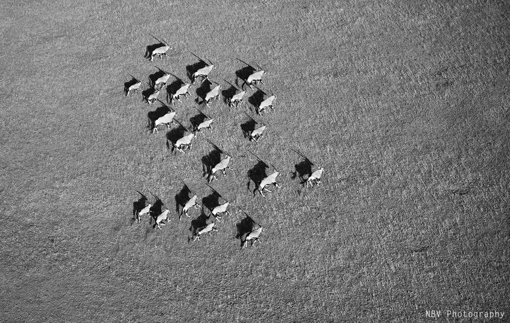 Helicopter Photography : This was shot in Sossusvlei, a sand dune desert in #Namibia. Trying to create a pattern amidst Oryx chaos, the elevation gave me another element to play with, the Oryx along with the shadows. Another black and white composition to bring a life into the shadows on the desert floor. With co-passengers Sumant Pinnamaneni & Thomas Happe. #Wildlife #Photography #NBVphotography #Nature #Adventure #Travel