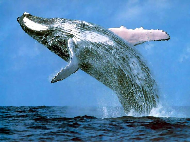 Blue Whale - The largest animal on the planet, the Blue Whale can consume more than six tons of Euphausiidae (tiny crustaceans) of which its diet almost exclusively consists of.