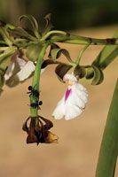 Las hormigas defienden a la orquídea y el azúcar que reciben como recompensa es parte esencial de su dieta.