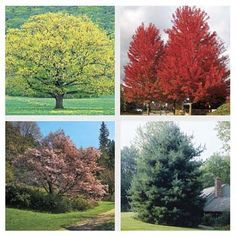 Want to add some cool beauty to your landscape? Here are fast-growing trees for shade, screening, and spectacular ornamental beauty. | thisoldhouse.com