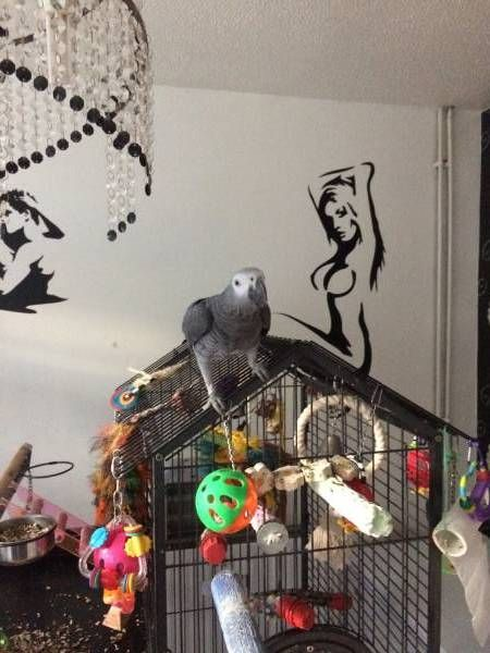 LOST AFRICAN GREY: 16/06/2017 - Basildon, Essex, England, United Kingdom. Ref#: L31603 - #ParrotAlert #LostBird #LostParrot #MissingBird #MissingParrot #LostAfricanGrey #MissingAfricanGrey
