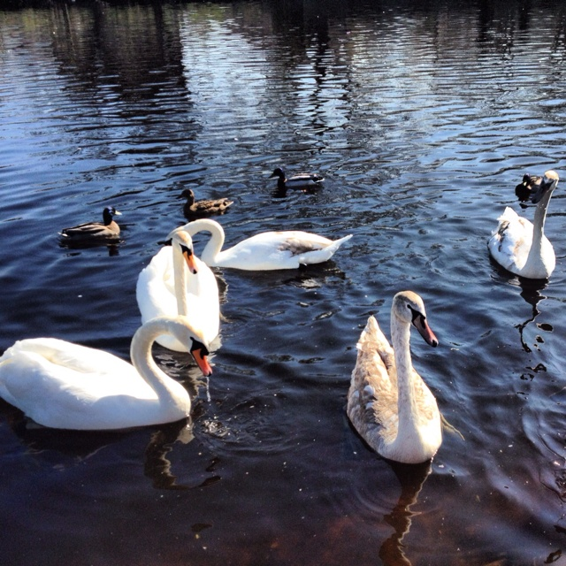 Otley Park, ducks & swans