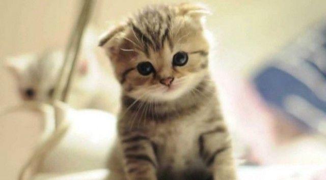 scottish fold Schau in unserem Laden nach, ob du Katzen liebst! 👉www.kawaiikitty.co …   – Cat Breeds