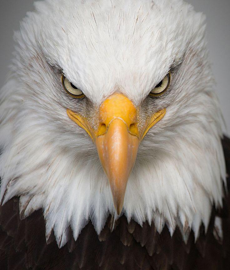 Águila, Retrato, Salvaje, Ave, Naturaleza, Predator