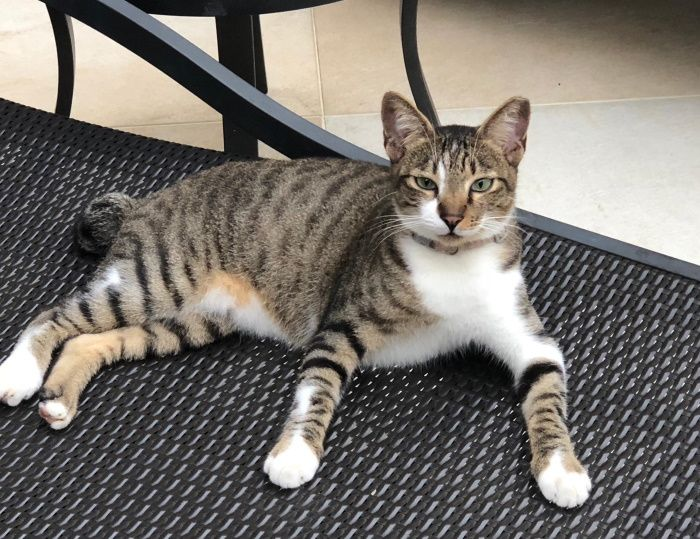 Name Of Pet Jerry Breed American Shorthair Color Tabby White