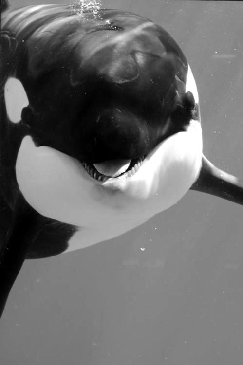 Playfully Smiling Orca Whale …                                                                                                                                                                                 More