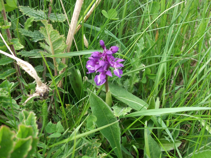 A May star in the grass, early purple orchid