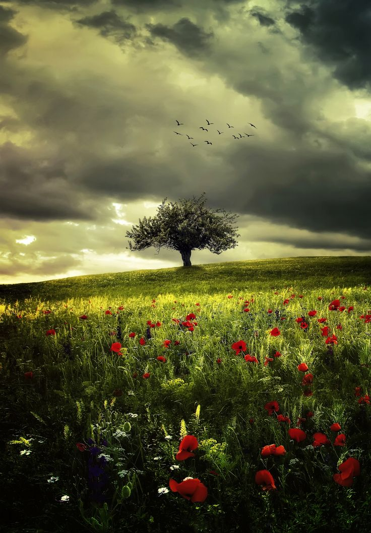 ~~Poppies • lone tree in a meadow of poppies landscape • by Bess™~~