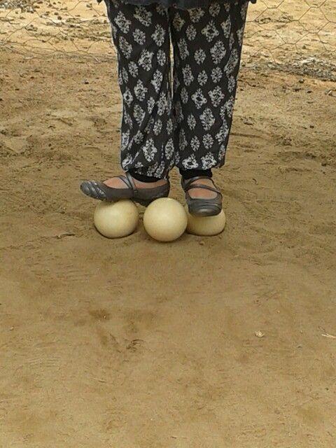 Ostrich egg weight