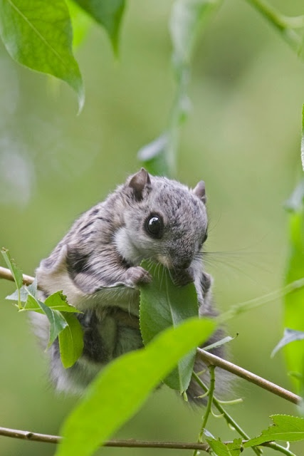 Liito-orava / Flying Squirrel. Protected mammal! Photo by Heimo Rajaniemi.