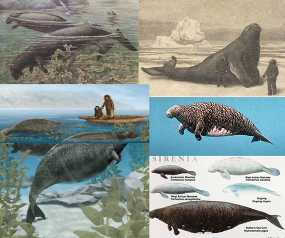 The enormous Steller's Sea Cow (Hydrodamalis gigas), named by German explorer Georg Wilhelm Steller, was one of the largest of a family of seafaring mammals that include manatees and dugongs. Discovered in 1841 in the Bering Sea south to the Aleutian Islands, the slow-moving pseudo-whales were hunted for its meat and fat, which was used for a variety of purposes. By 1768, only 27 years after their discovery, they were classified extinct.