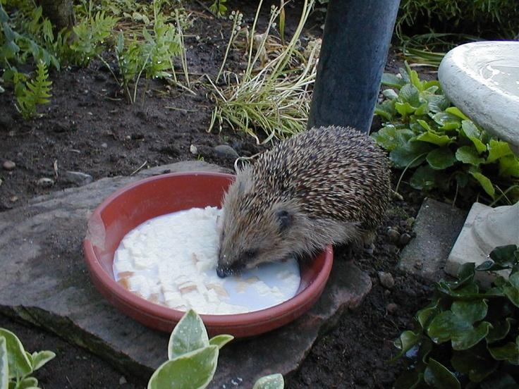 Vi fodrede pindsvinet i haven #visitfyn