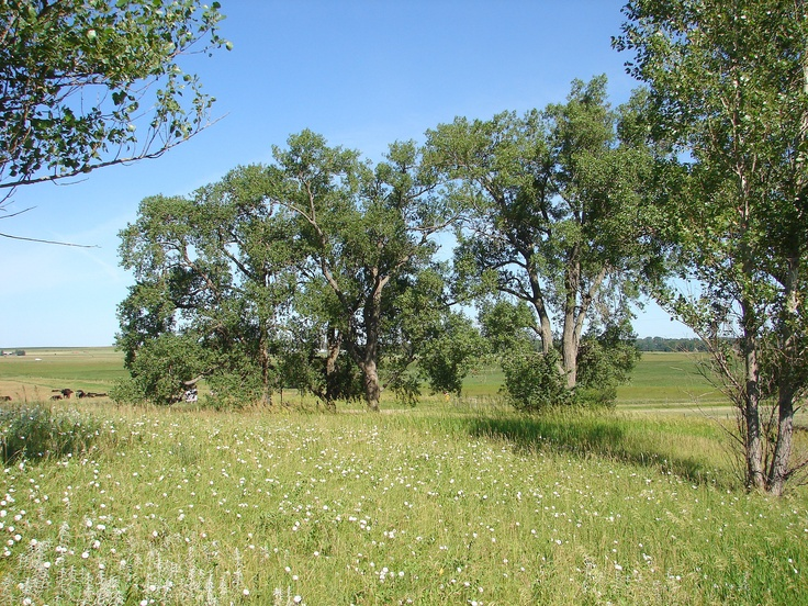 The actual cottonwood trees planted by Pa (Charles Ingalls) on the original homestead near De Smet, SD, still stand.