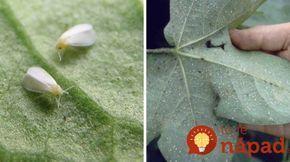 Napadla vaše rastliny molica? TAKTO sa jej môžete zbaviť!