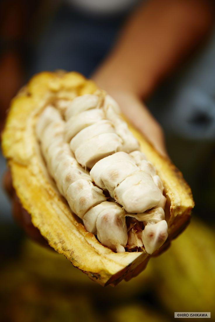 Cabosse de cacao fraîchement coupée / Freshly cut cocoa pod - ©KAOKA