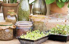 En explosion av vitaminer och smaker – det är inte konstigt att groddarna gör comeback i trendköket. Nu under namnet microgreens. Här får du veta vad och hur du ska odla för bästa resultat.