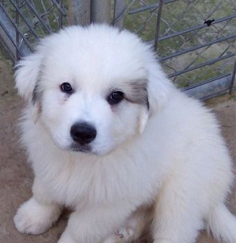 great pyrenees   Great Pyrenees - Breed Pictures and Photos