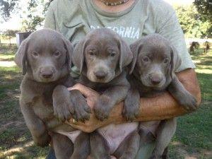 Three Silver Lab Puppies
