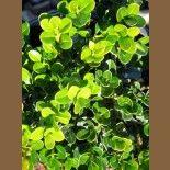 Buxus 'Treeland Green'
