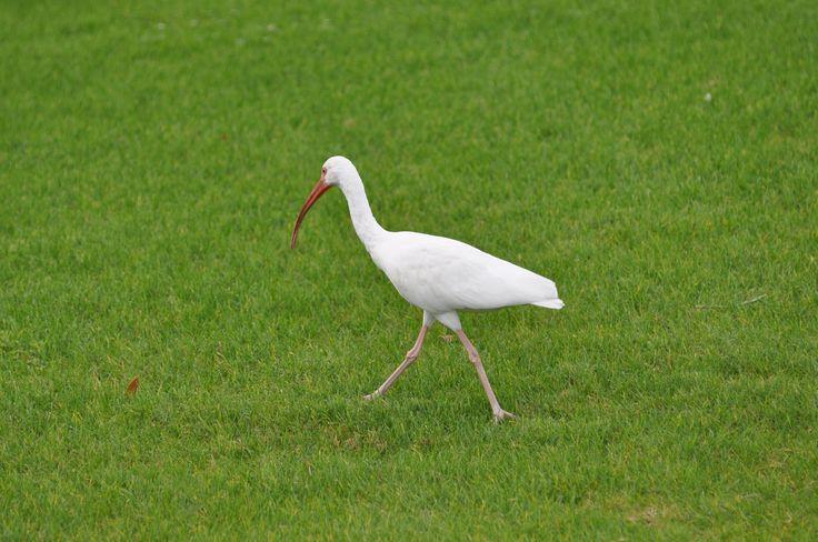 Vit ibis (Eudocimus albus)