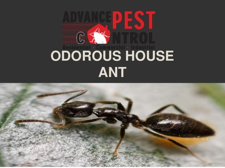 Odorous ants belong to the species of ants known as the Tapinoma sessile. They have colonies that are polydomous, meaning that they consist of several nests. T…  http://www.slideshare.net/JesiKa3/odorous-house-ant