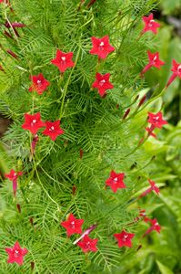 Cypress Vine - attracts hummingbirds.  Have this at home for the past few years. It really does attract hummingbirds. Produces lots of seeds and spreads quickly. Easy to care for and will grow around things like Ivy does.