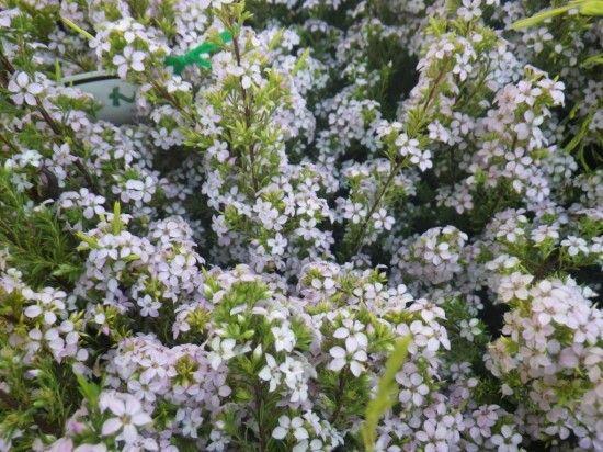 Diosma - Landsdale Plants