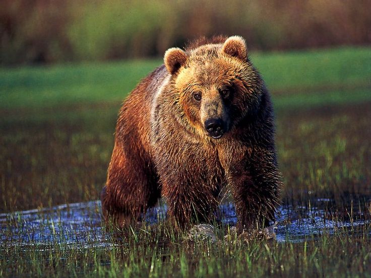 If I were an animal spirit, I'd be the grizzly bear...it's my totem.