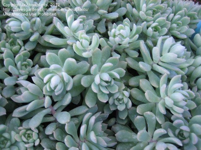 Graptopetalum Glassii Succulents Amp Cactus Amp Sedum