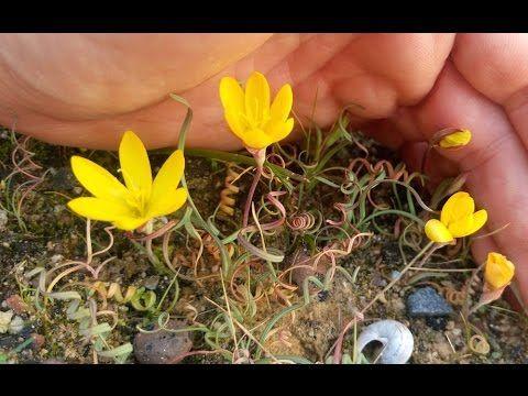 Geissorhiza corrugata - Curly Wine Cup species